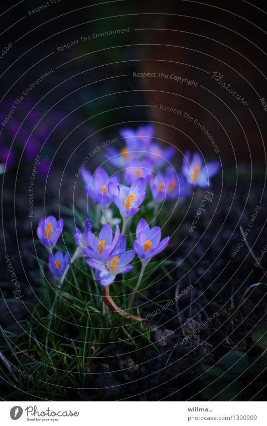wie sehr wir leuchten... Frühling Blume Krokusse Blühend violett zart Frühlingsblume Frühblüher Pflanze Natur Farbfoto Außenaufnahme Textfreiraum oben