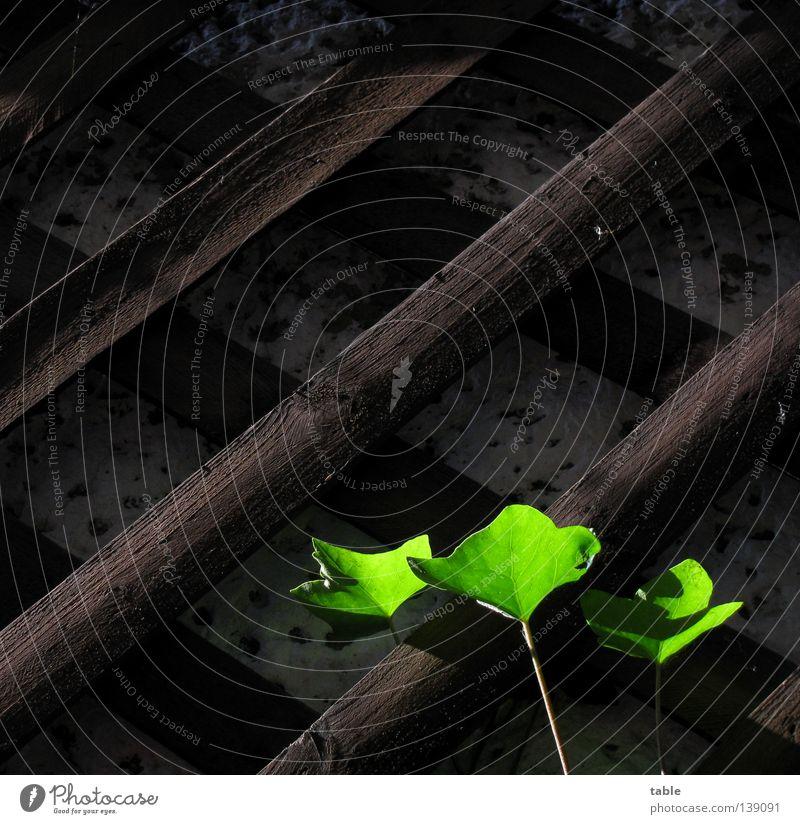 BLN 08 / Lichtblick Efeu dunkel Sonnenlicht grün Physik Wachstum Ranke Fotografieren Mauer Wand Sympathie Freude Detailaufnahme Sommer User-Treffen Holzgitter
