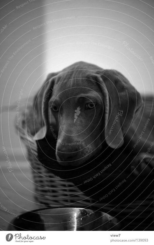 Das Erste. Hund Welpe klein niedlich zart Weimaraner fein unsicher schwarz weiß Jagdhund Schnauze Schwarzweißfoto Säugetier liegen Blick sitzen Nase Auge