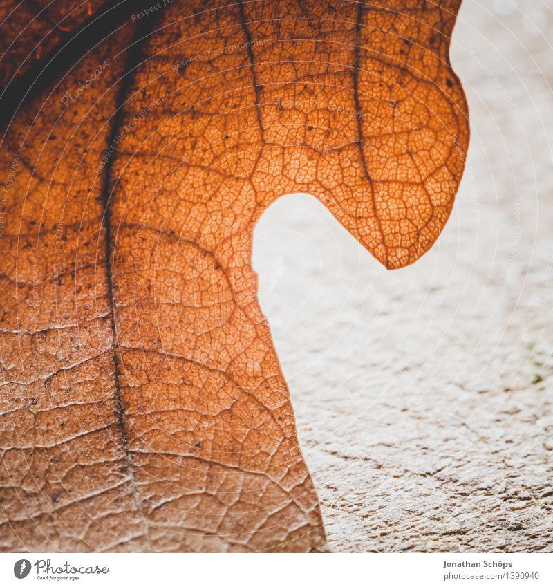 Herbstnähe II Umwelt Pflanze Baum Blatt Wald ästhetisch braun Blattadern Blattfaser Blattunterseite faszinierend Detailaufnahme Leben Wunder Natur achtsam