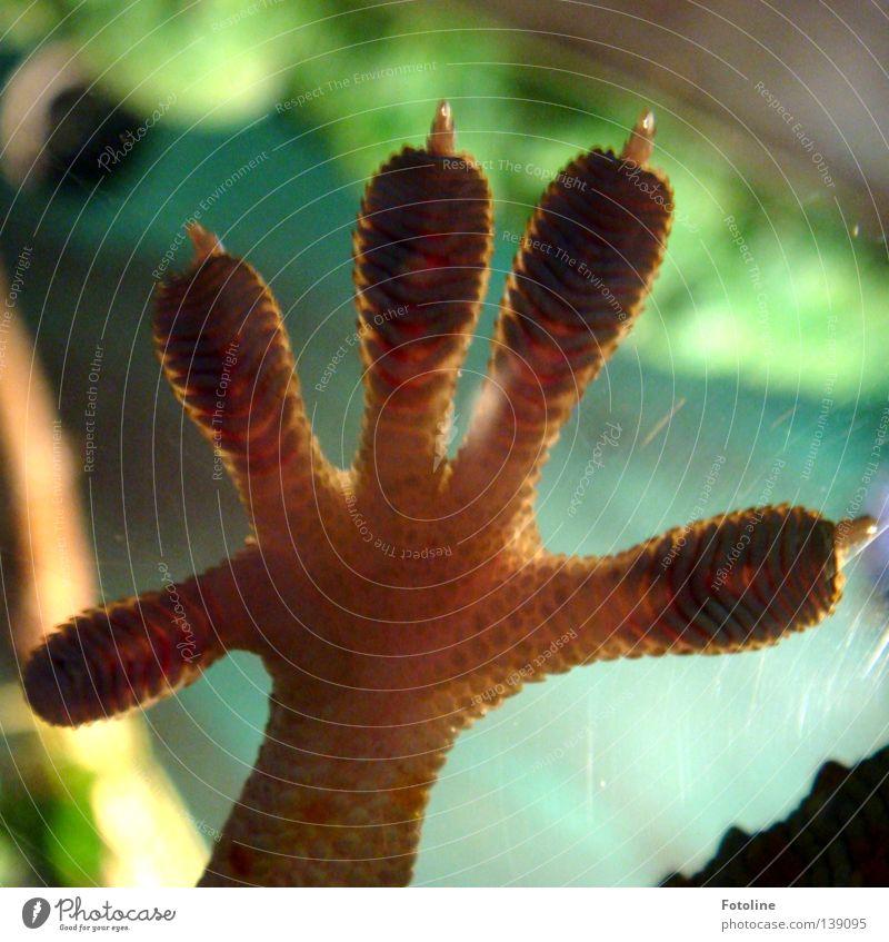 Gib mir 5 - oder der Fuß einer Echse, die an der Innenseite einer Scheibe klebt Zehen Hand Fingernagel Gecko Fingerabdruck grün braun Reptil Fensterscheibe
