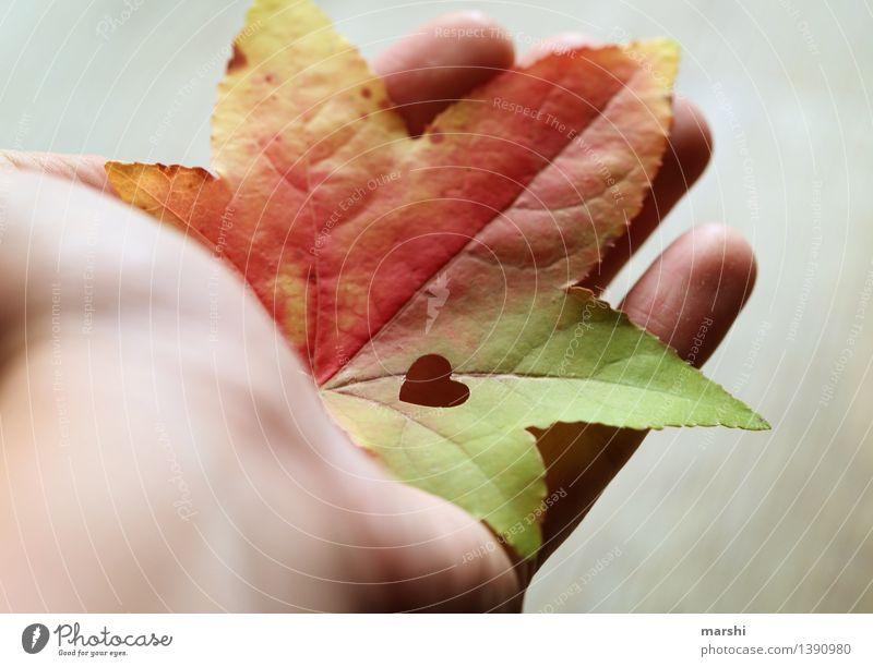 eine Hand voll Herbst Natur Pflanze Blatt Stimmung Ahorn herbstlich Herz herzlich Liebe schön Farbfoto mehrfarbig Außenaufnahme Nahaufnahme Detailaufnahme