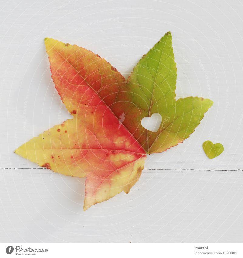 Herbstliebe Natur Pflanze Blatt Gefühle Stimmung herbstlich Ahorn Herz Verliebtheit Liebe Jahreszeiten mehrfarbig Farbfoto Innenaufnahme Studioaufnahme