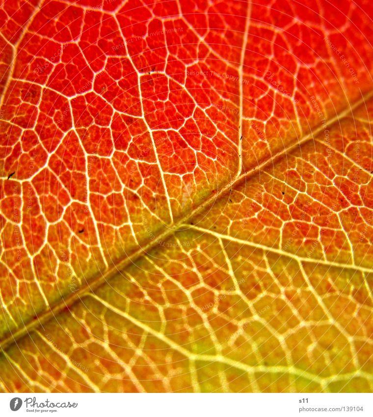 AutumnLeaf II schön Natur Pflanze Herbst Baum Blatt fallen grün rot Vergänglichkeit Herbstlaub Jahreszeiten Photosynthese Gefäße knallig Gefängniszelle