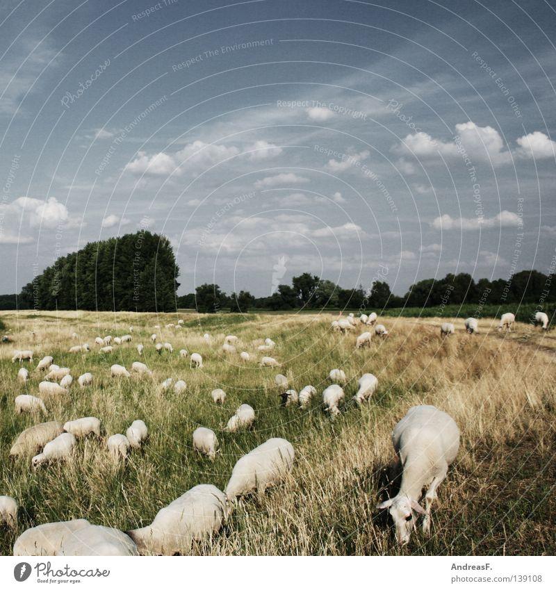 sheep sheep Idylle Landwirtschaft Tier Tierzucht mehrere Zusammenhalt Schaf Schafherde Schäfer Sommer Wiese Gras Wolle Rasenmäher Säugetier Amerika Landschaft