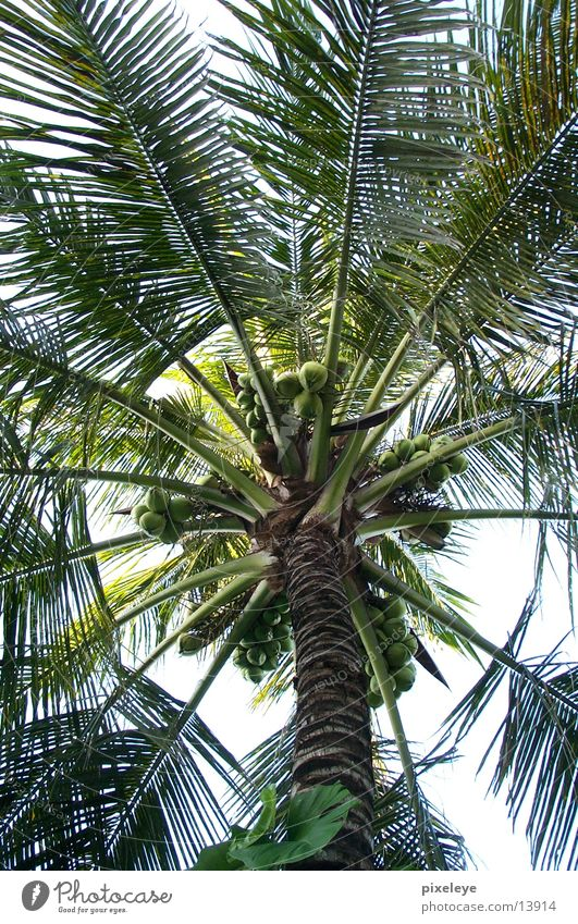 Palme & Kokosnuss Blatt Nuss