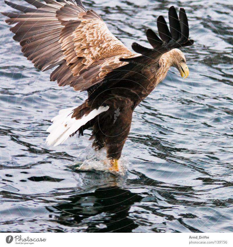 Touchdown Norwegen fangen Fressen groß kalt Küste majestätisch Meer Polarmeer See Seeadler Vogel Wellen Adler Feder Fjord fliegen Luftverkehr greifvogel hell