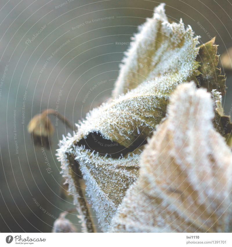 Raureif Natur Pflanze Herbst Schönes Wetter Eis Frost Blume Blatt Herbstanemone Garten Park frieren glänzend genießen außergewöhnlich fantastisch kalt natürlich