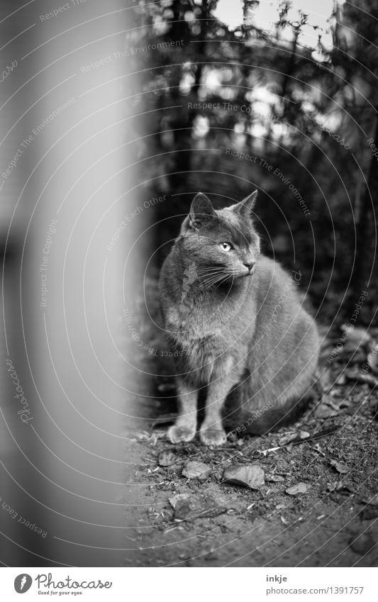 Holzauge sei wachsam Herbst Garten Tier Haustier Katze Hauskatze 1 hocken Blick Auge fehlen Tiergesicht einäugig beobachten Schwarzweißfoto Außenaufnahme