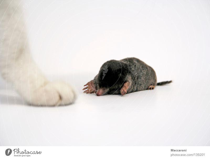Maulwurf Vs Katze II Flasche Beine Erde Wiese Fell Krallen Pfote liegen Traurigkeit warten schwarz weiß Trauer Tod Schmerz Jäger töten Flucht Schwanz
