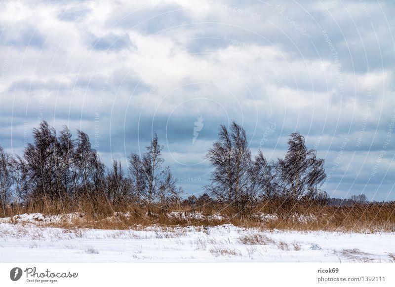 Bäume im Winter Ferien & Urlaub & Reisen Natur Landschaft Wolken Klima Schnee Baum Küste kalt ruhig Vorpommersche Boddenlandschaft Schilfrohr
