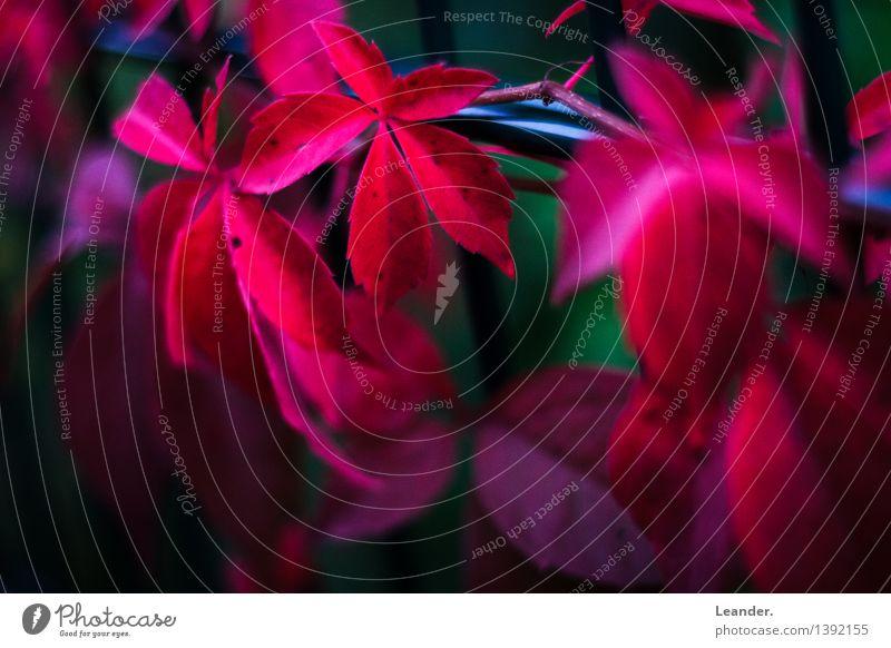 Herbstblätter Umwelt Natur Pflanze Blatt Garten ästhetisch frei rot geduldig Weinblatt Zaun Farbfoto Gedeckte Farben Außenaufnahme Textfreiraum links