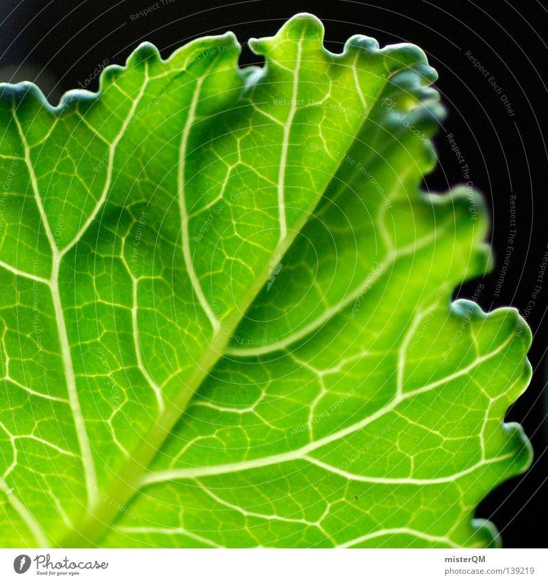 Kohlrabiblatt im Gegenlicht. Blatt Gefäße Gemüse Küche Ernährung Gartenbau Natur Aussaat Ackerbau Deutschland Landwirtschaft schwarz Makroaufnahme frisch zart