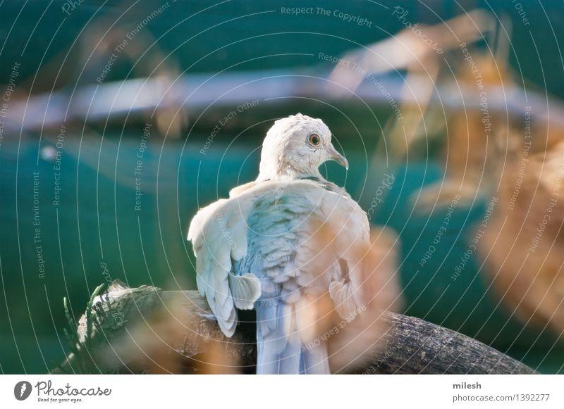 Ring-Necked Taube gehockt auf Niederlassung Natur Tier Vogel 1 beobachten sitzen frei niedlich wild blau braun grau grün weiß Tierwelt wach Schnabel Ast