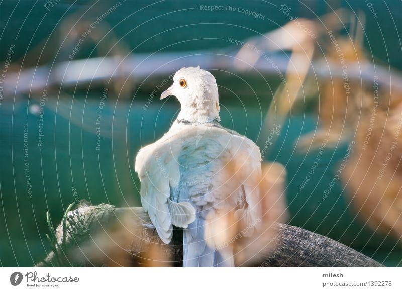 Ring-Necked Dove streckt den Hals Tier Vogel 1 beobachten sitzen frei niedlich wild blau braun grau grün orange weiß Taube Tierwelt wach Schnabel Ast bedächtig