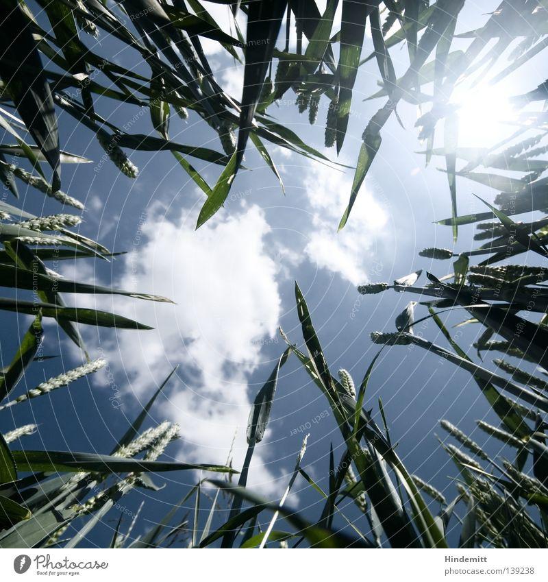 LICHTSCHEIN II Wolken unten Gras Weizen grün Biologie organisch Pflanze ökologisch Elektrizität alternativ Sommer frisch Physik ruhig Langeweile Sonnenstrahlen