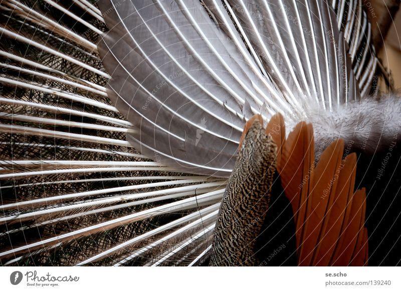 L.m.a.A.! - oder: Die Kehrseite. Vogel Pfau Rückseite Hinterteil Feder Ordnung Anordnung Rücken Abkehr