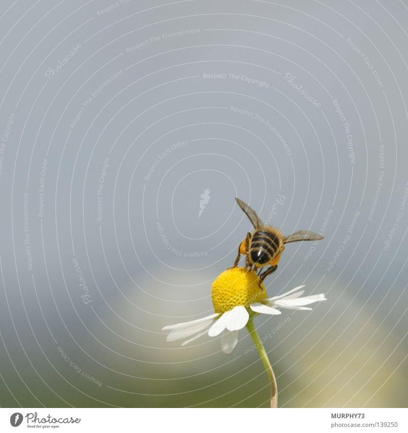 Du kannst mich Mal... (Gedanken einer Biene beim Fotoshooting) weiß Blume schwarz Ernährung Tier gelb Blüte Hinterteil Flügel Insekt Pollen Honig Staubfäden