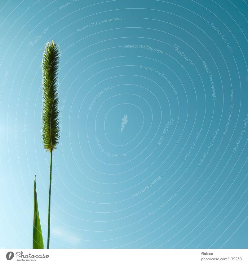 Gras Himmel Natur blau grün Pflanze Sommer Einsamkeit Umwelt Wiese Gras Blüte See Linie Hintergrundbild frisch einzigartig