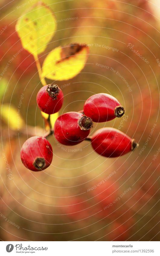 hagebutte Umwelt Natur Herbst Pflanze Sträucher Blatt Blüte Grünpflanze Nutzpflanze Wildpflanze Hagebutten alt dünn authentisch schön klein nah natürlich rund