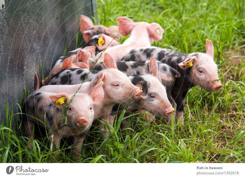 freilaufende Ferkel Landwirtschaft Forstwirtschaft Landschaft Wiese Tier Nutztier Tiergruppe Herde Tierjunges Spielen Wachstum Fröhlichkeit niedlich