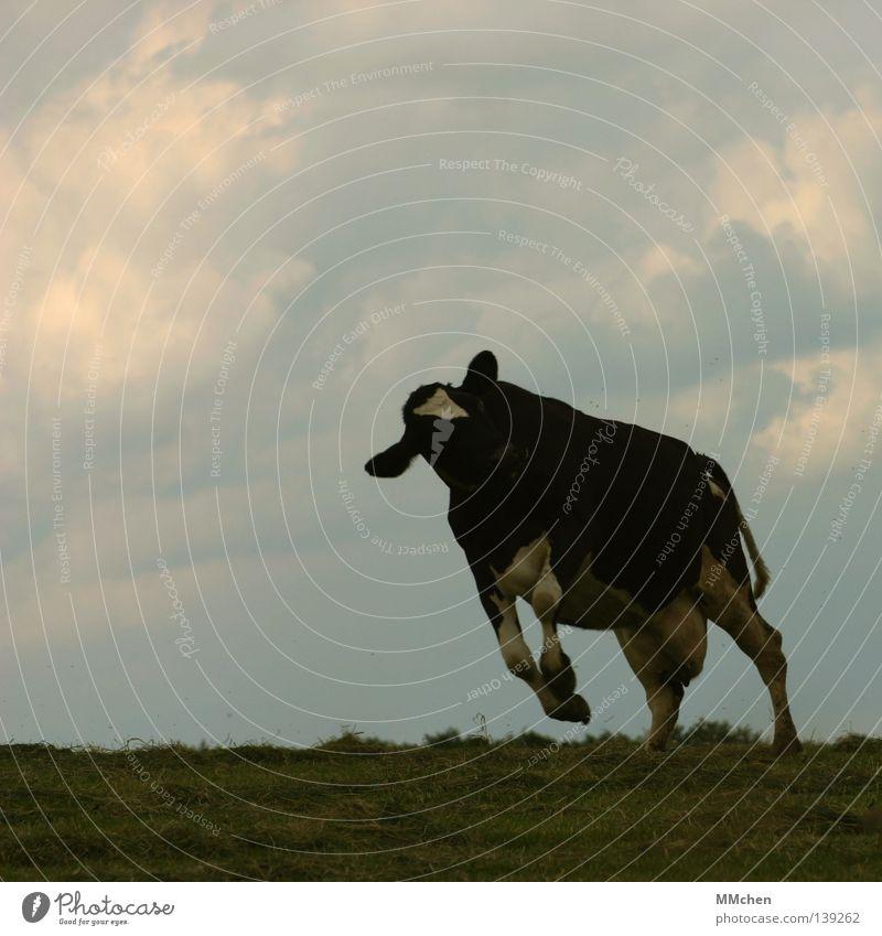 SchüttelShake Himmel blau weiß grün Freude Wolken schwarz Wiese Freiheit springen frei Fröhlichkeit Wildtier Weide Kuh Säugetier
