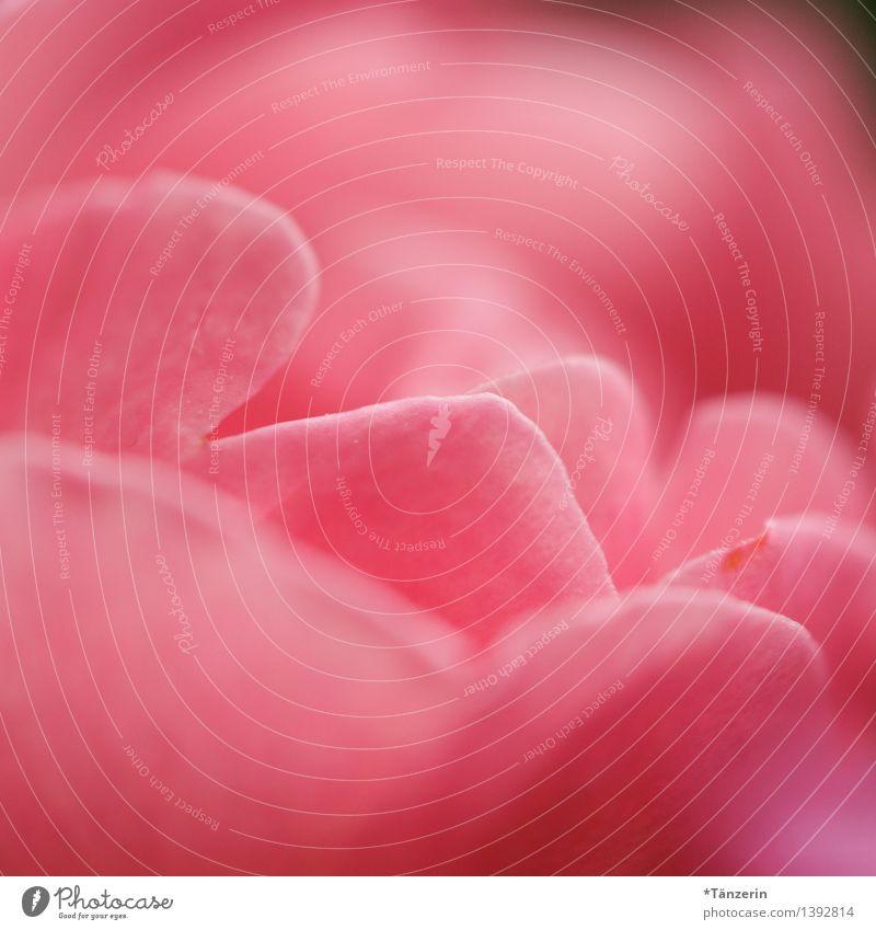 sehr rosa Natur Pflanze Sommer Schönes Wetter Blume Rose Blatt Garten Park ästhetisch Freundlichkeit frisch schön natürlich positiv weich Lebensfreude