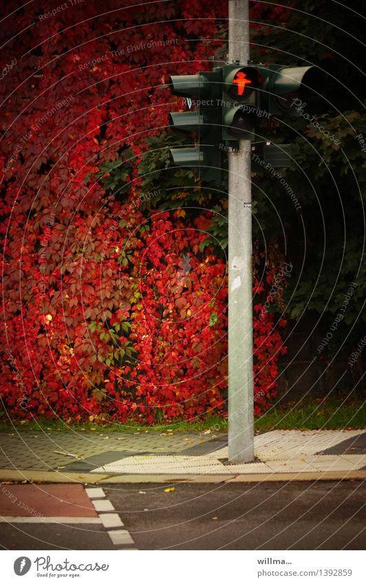 tarntracht Herbst Blatt Straße Ampel Bürgersteig Fußgängerübergang rot herbstlich Ampelmännchen Wilder Wein Kletterpflanzen Herbstfärbung Farbfoto Außenaufnahme