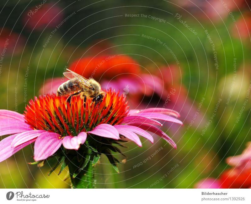 Sammlerin Biene Blume Blüte Botanik Außenaufnahme Pflanze Natur schön Sommer Flügel Facettenauge rosa orange Korbblütengewächs Roter Sonnenhut