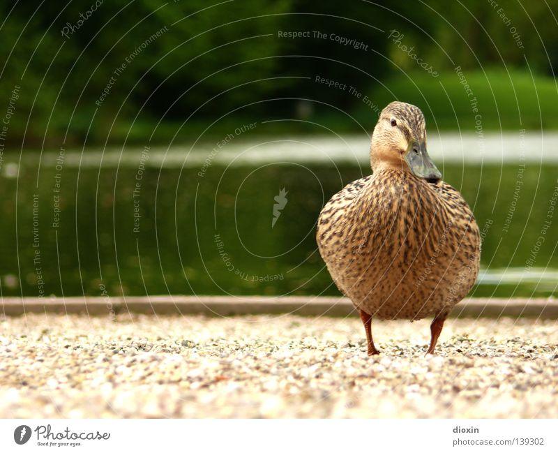 Duckwalk Garten See Park Vogel Feder Flügel Teich Ente Schnabel Kies Badeente Hausente Erpel Daunen watscheln Stockente