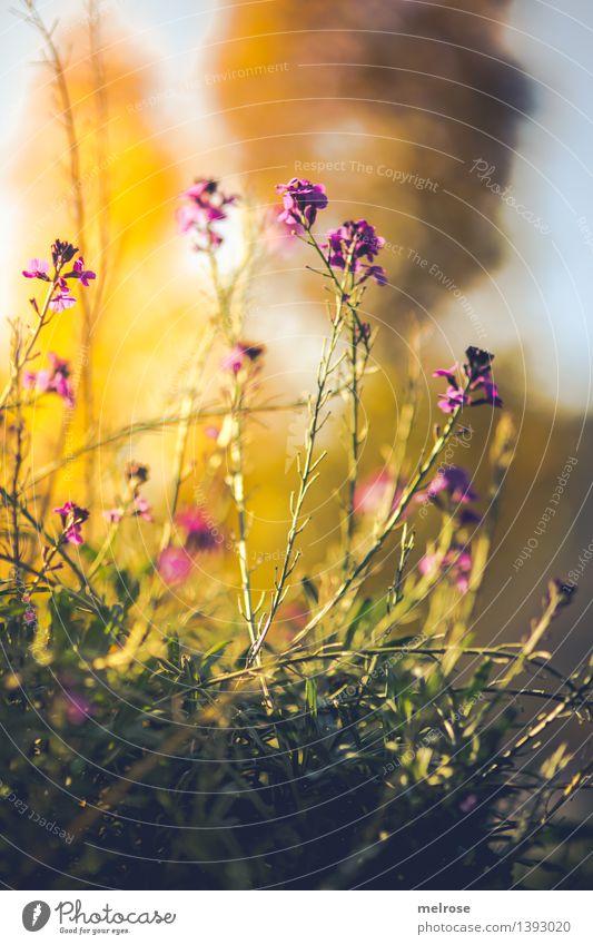 Herbstblütenwolke Stil Design Natur Pflanze Himmel Schönes Wetter Blume Sträucher Wildpflanze Blütenstauden Unkraut Garten Feld Herbstzeit herbstlich