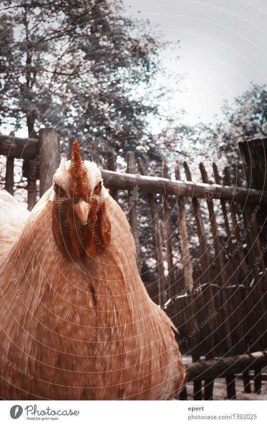 Hackerangriff Tier Vogel Haushuhn Hahn 1 Aggression lustig wild selbstbewußt Willensstärke Mut Entschlossenheit Blick Farbfoto Gedeckte Farben Außenaufnahme