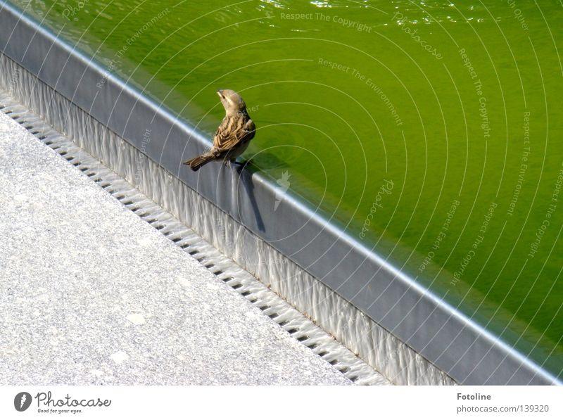 In Dresden sitzt ein kleiner Spatz auf dem Brunnenrand und überlegt, ob er trinken möchte oder nicht Eisen Beton Schnabel Abfluss Vogel Wasser grüßn Flügel