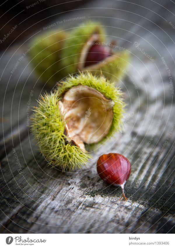 Maronen Frucht Baumfrucht Ernährung Herbst Wildpflanze Samen Kastanie Holz ästhetisch lecker natürlich positiv stachelig braun gelb grau ruhig genießen Natur