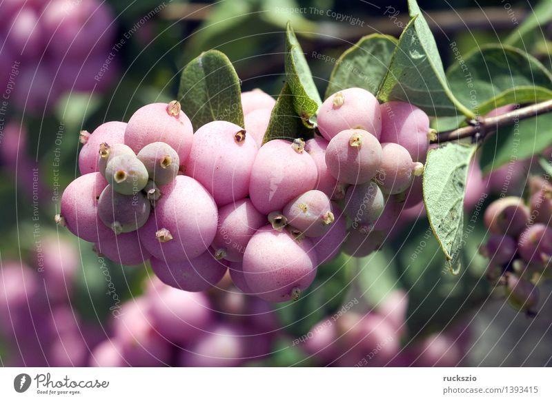 Schneebeere; Scarlet Pearl, Natur Pflanze rosa Apothekergarten Beeren Botanik Gartenpflanzen Giftpflanze Heilpflanzen Rauschkunde Symphoricarpos Chenaultii
