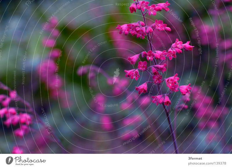 japanisch02 Natur grün Pflanze Blume Leben grau Blüte Frühling Park rosa glänzend Beginn mehrere verrückt Bodenbelag viele