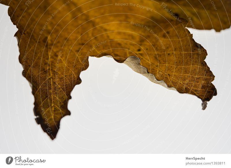 Herbst mit Textfreiraum Natur Blatt Grünpflanze ästhetisch natürlich braun weiß Vergänglichkeit Herbstlaub Herbstfärbung Metamorphose Wandel & Veränderung