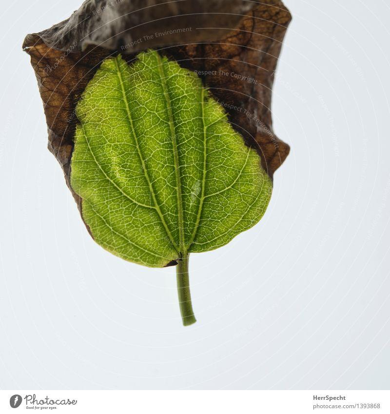 Transformation Pflanze Herbst Blatt Grünpflanze ästhetisch natürlich braun grün Tod unbeständig Vergänglichkeit Wandel & Veränderung Metamorphose Herbstlaub
