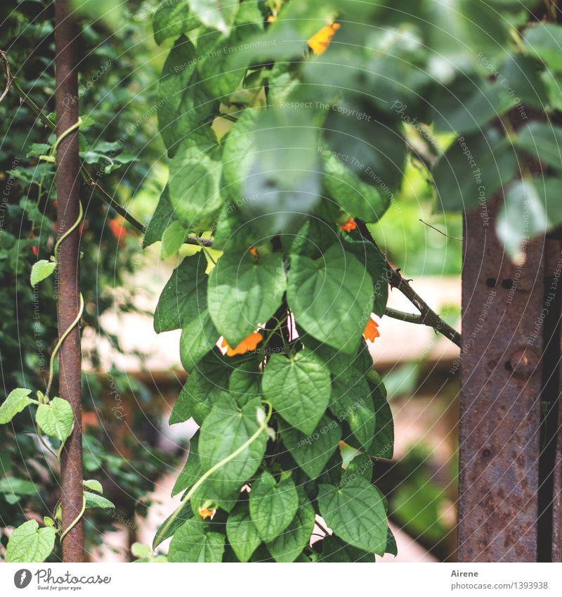 0815 AST | ranking Pflanze Blatt Blüte Grünpflanze Kletterpflanzen Garten Gartentor Gitter Metall Rost hängen Wachstum grün orange Blühend Klettern Ranke