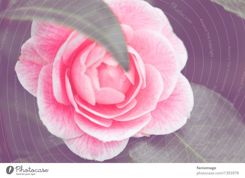 Perfektion Natur Pflanze Winter Blume Rose Garten schön Romantik Rosenblüte rosa perfekt hellrosa Farbe dunkelgrün matt Blühend Blüte Blütenblatt offen Duft