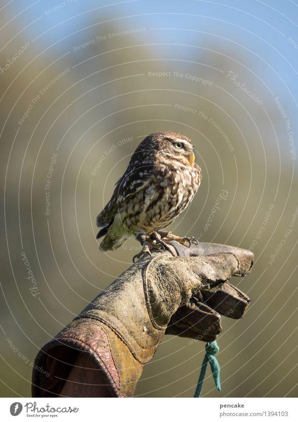 kleinkaliber Himmel Wald Tier Wildtier Vogel 1 außergewöhnlich Eulenvögel Kauz Sperlingskauz gefährlich Dieb Greifvogel sitzen beobachten Hand Handschuhe Leder