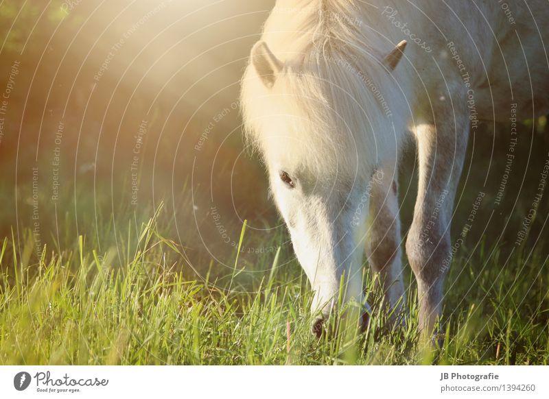 Sommerabend grün Erholung Tier gelb Wärme Wiese Gras Idylle Schönes Wetter Pferd Weide Fell Leidenschaft Haustier Fressen