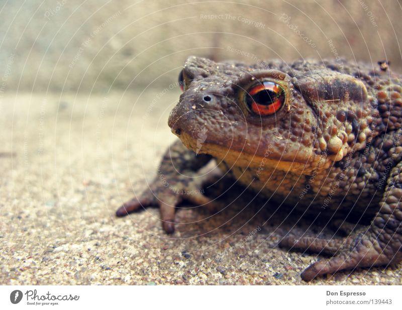 Jabba Tier Auge Garten Frosch Fett Teich Ekel Gift hüpfen Lurch Froschlurche schleimig Kröte Quaken Glubschauge Erdkröte