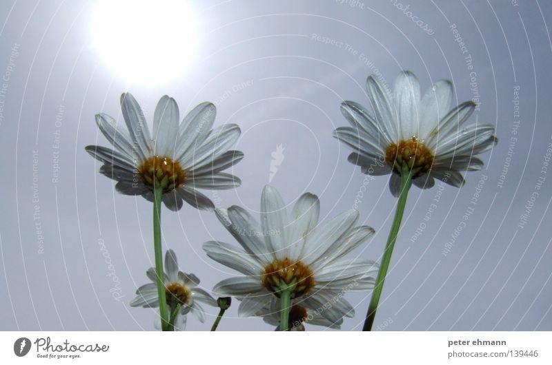 Emporkömmlinge Gänseblümchen Blume weiß Stengel Blüte Wachstum Reifezeit Sommer Beleuchtung Physik 3 Margerite Blühend Kraft Energiewirtschaft Sonne Wärme