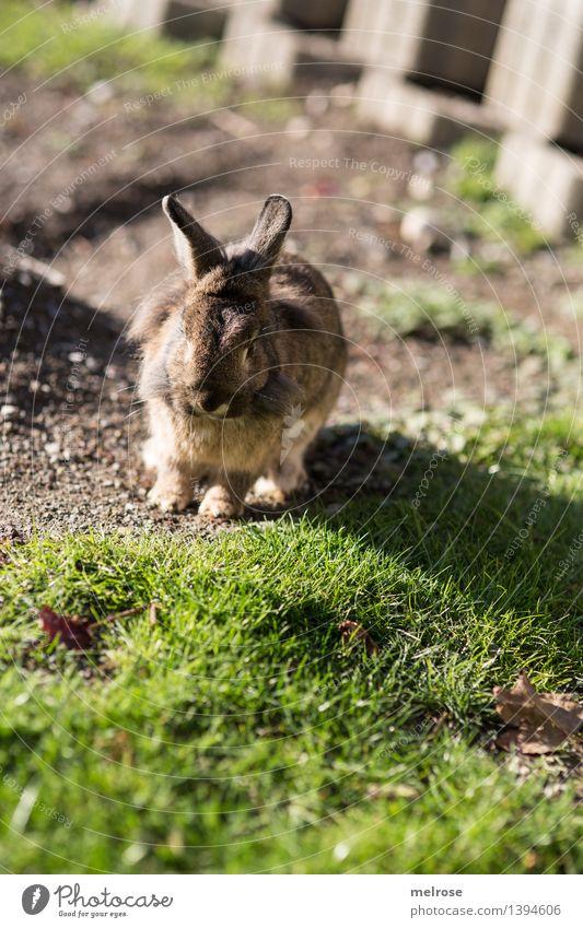 erwischt ... gg elegant Stil Natur Erde Sonnenlicht Herbst Schönes Wetter Gras Garten Haustier Tiergesicht Fell Pfote Hasenohren Säugetier Löwenkopf