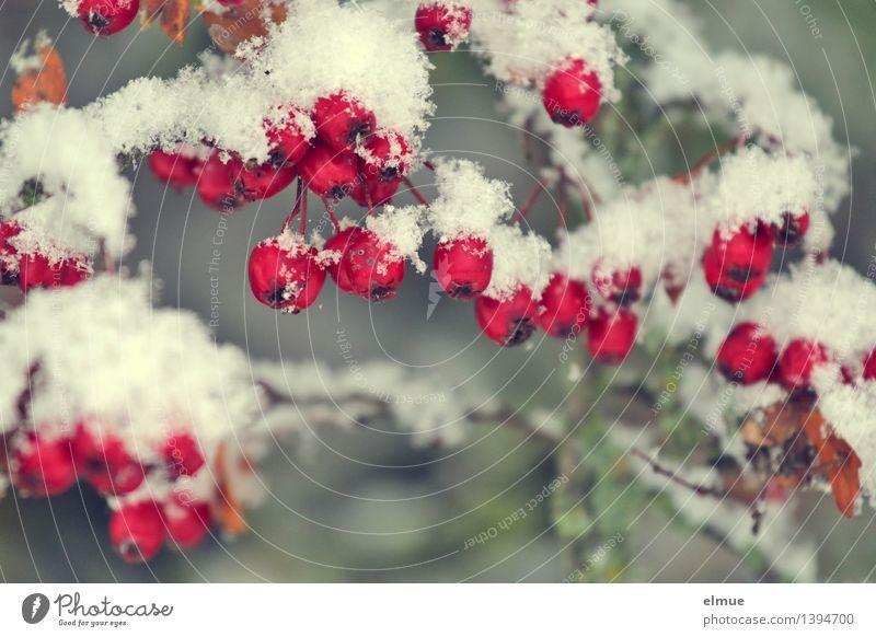 Weißdornsorbet Frucht Wildobst Schnee Weissdorn Hecke Kugel Konservierung Sorbet kalt rund rot weiß Vorfreude Überraschung Design elegant genießen Inspiration