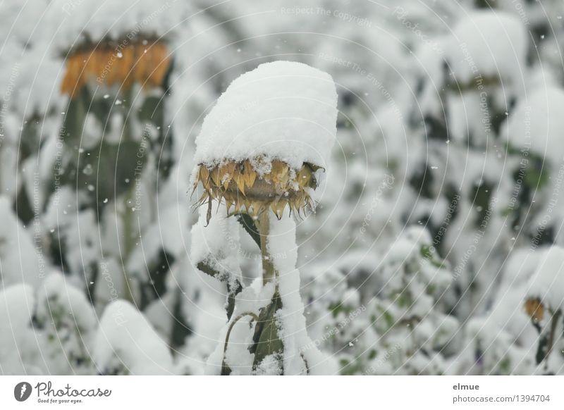 Schneemützchen Natur Pflanze weiß kalt gelb Traurigkeit Schnee außergewöhnlich Schneefall träumen blond Klima Vergänglichkeit einzigartig Pause Schutz