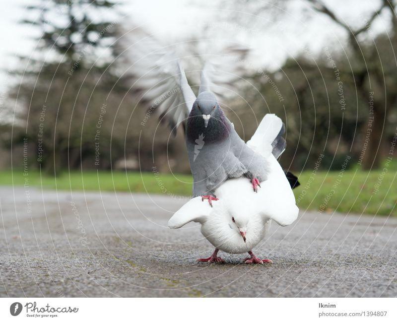 zwei Tauben Umwelt Natur Tier Vogel tiersex tierisch Sex Rangordnung Vögel unterordnen kämpfen Geschlecht geschlechterkampf Brunft Konflikt & Streit Aggression