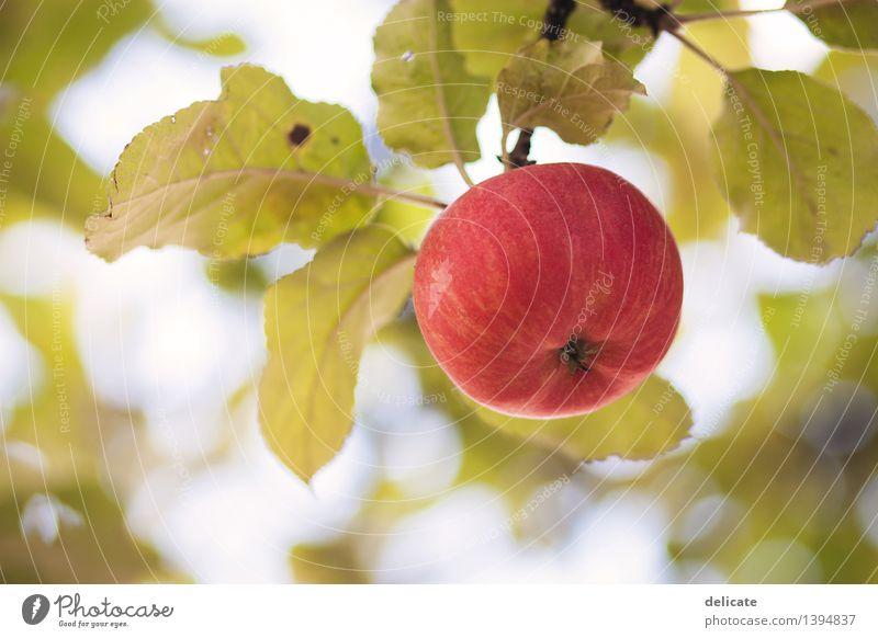 Apfel Lebensmittel Frucht Ernährung Bioprodukte Vegetarische Ernährung Herbst Baum Garten hängen Wachstum rund saftig genießen Gesundheit Qualität Ernte
