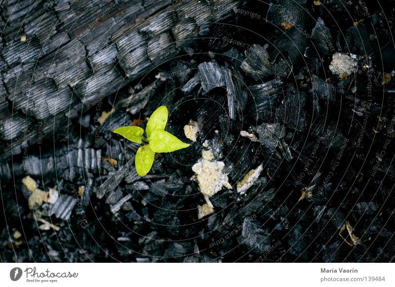 BLN 08 | Neues Leben grün Pflanze Kohle Holz Brand Umwelt Feuer frisch Energiewirtschaft neu Vergänglichkeit brennen Klimawandel Brandschutz Feuerwehr Trieb